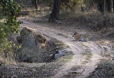 Bengal tiger, Panthera tigris som ner ligger i väg Arkivfoton
