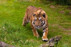 Bengal Tiger (Panthera tigris tigris). Bengal Tiger running through grass Stock Images