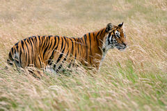 Bengal Tiger (Panthera tigris tigris) Royalty Free Stock Images