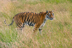 Bengal Tiger (Panthera tigris tigris) Royalty Free Stock Photos