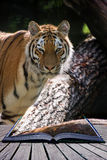 Bengal tiger panthera tigris tigris in captivity conceptual book Royalty Free Stock Photography