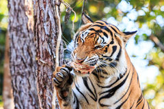 Bengal tiger (Panthera tigris tigris) eating meat in the zoo Stock Images