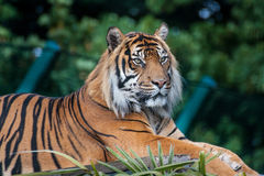The Bengal tiger or Panthera tigris. The Bengal tiger Panthera tigris tigris is the most numerous of the tiger species. Since 2010, it is listed as Endangered on stock photography