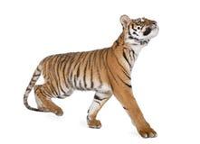 Bengal Tiger, Panthera tigris tigris, 1 year old royalty free stock photo