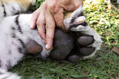 Bengal tiger paw nails Royalty Free Stock Photography