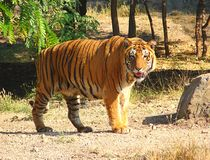 A Bengal Tiger Royalty Free Stock Images