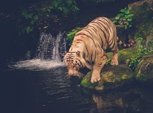 Bengal tiger playing in a jungle Royalty Free Stock Photos