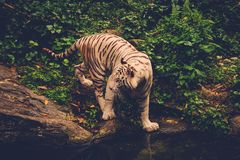 Bengal tiger playing in a jungle Stock Image
