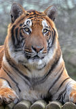 Bengal Tiger Portrait Royalty Free Stock Photo
