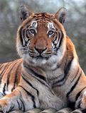Bengal Tiger Portrait Stock Image