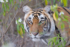 Bengal Tiger. Portrait of a Bengal Tiger between bushes Royalty Free Stock Images