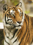 Bengal Tiger Profile Stock Photography