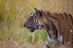 Bengal Tiger profile. A high resolution of a wild bengal tiger in the jungles of India Stock Images