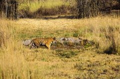 Bengal Tiger on the prowl in Kanha. India Stock Photography