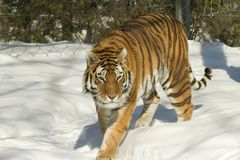 Bengal Tiger on the prowl Stock Images