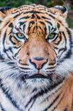 Bengal tiger, queen of forest,  tiger mask, tiger close up, feline Royalty Free Stock Images
