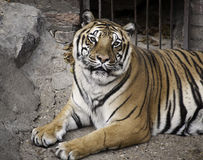 Bengal Tiger. Relaxing in Belgrade zoo... Lives in India, Nepal, Bhutan, and Bangladesh, and is the most common subspecies Royalty Free Stock Photos