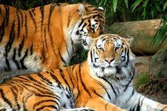 Bengal tiger. Stock Photography