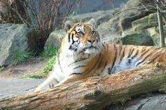 Bengal tiger. Stock Photos