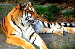 Bengal tiger. Royalty Free Stock Images