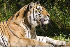 Bengal Tiger relaxing in the Michigan sun Royalty Free Stock Photography