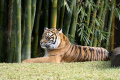 Bengal Tiger relaxing in the sun Stock Photo