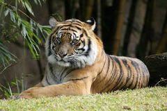 Bengal Tiger relaxing in the sun. The endangered Bengal Tiger, at Australia Zoo, is found in India, Bangladesh, Nepal, Bhutan, and Burma. Tigers are the largest Royalty Free Stock Images