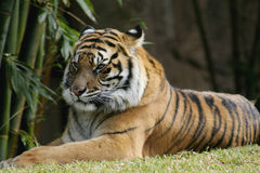 Bengal Tiger relaxing in the sun. The endangered Bengal Tiger, at Australia Zoo, is found in India, Bangladesh, Nepal, Bhutan, and Burma. Tigers are the largest Royalty Free Stock Photos