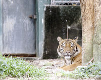 Bengal tiger resting in captivity Royalty Free Stock Photo