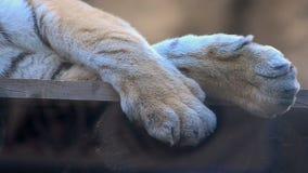 Bengal tiger resting. Close up stock footage