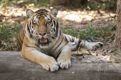 Bengal tiger resting Royalty Free Stock Images