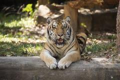 Bengal tiger resting Royalty Free Stock Photo