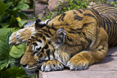 Bengal Tiger at Rest Royalty Free Stock Photos