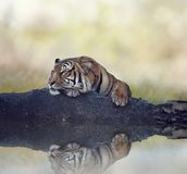 Bengal tiger resting on a rock near water. Bengal tiger resting on a rock near pond royalty free stock photo