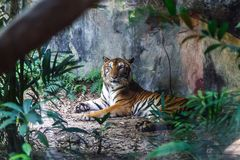 Bengal tiger resting and staring with its green eyes in Zoo. Bengal tiger resting and staring with its green eyes in Zoo very beautiful Stock Photography