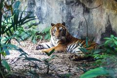 Bengal tiger resting and staring with its green eyes in Zoo. Bengal tiger resting and staring with its green eyes in Zoo very beautiful Royalty Free Stock Photography