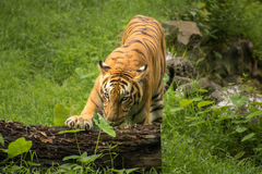 Bengal tiger rests his paw on a fallen tree trunk at a tiger reserve in India. Royal Bengal Tigers which are found in India, Bangladesh and Mayanmar, is one of Stock Image