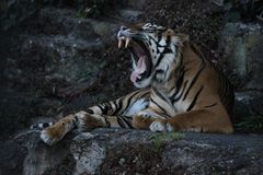 Bengal tiger roaring loud majestically stock photography