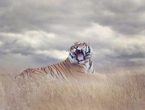 Bengal Tiger Roaring Stock Image