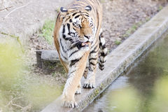 Bengal tiger roaring beside the water Stock Photography