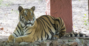 Bengal Tiger. Royal Bengal Tiger (Panthera tigris tigris) resting in shade royalty free stock photos