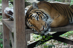 Bengal tiger show head. Tiger head looking direct to camera Royalty Free Stock Images