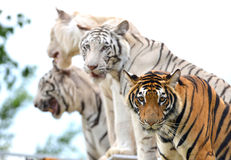 Bengal tiger show Royalty Free Stock Images