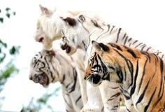 Bengal tiger show Stock Image