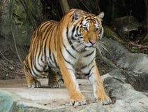 Bengal tiger Royalty Free Stock Image