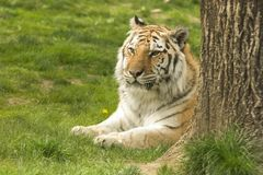 Bengal Tiger Sitting. In the Grass Royalty Free Stock Photos