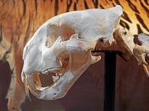 Bengal Tiger Skeleton on Background royalty free stock image