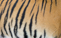 Bengal tiger skin Royalty Free Stock Photo