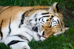 Bengal Tiger Sleeping Royalty Free Stock Image