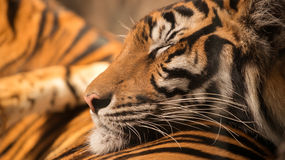 Bengal tiger sleeping on another one Royalty Free Stock Photo